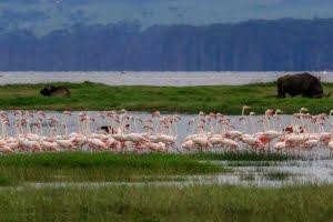 safari-in-afrika_lake-naivasha-flamingo
