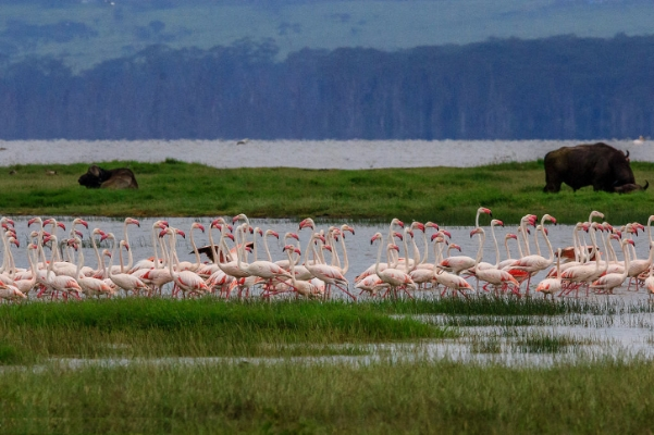 safari-in-afrika_lake-naivasha-flamingo