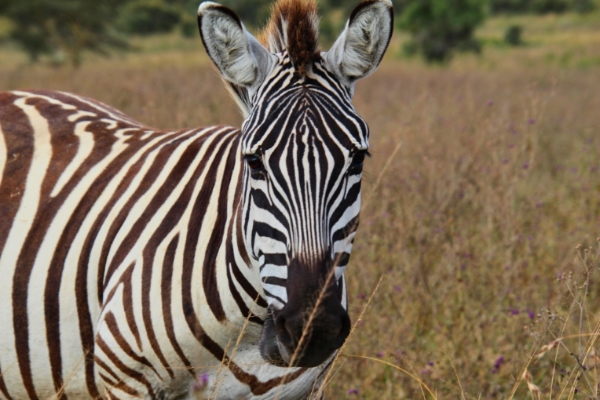 safari-in-afrika_nakuru-zebra_01