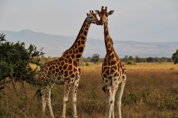 safari-in-afrika_nakuru-giraffe_02