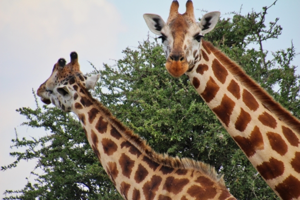 safari-in-afrika_nakuru-giraffe_01