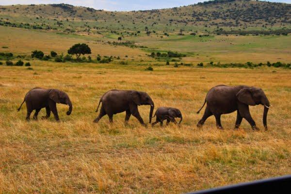 safari-in-afrika_masai-mara-olifanten_01