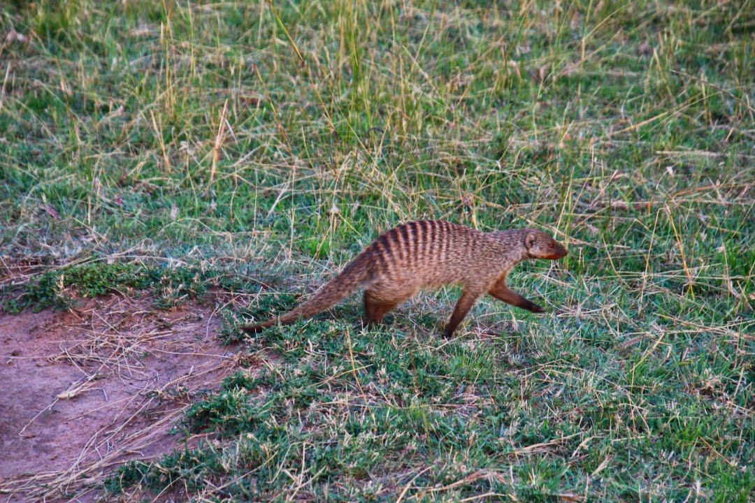safari-in-kenia-masai-mara-game-reserve-10