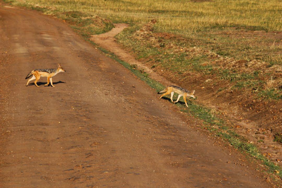 safari-in-kenia-masai-mara-game-reserve-14