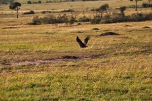 safari-in-afrika_masai-mara-vliegende-gier