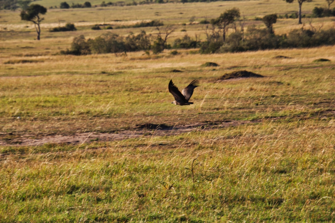 safari-in-kenia-masai-mara-game-reserve-15