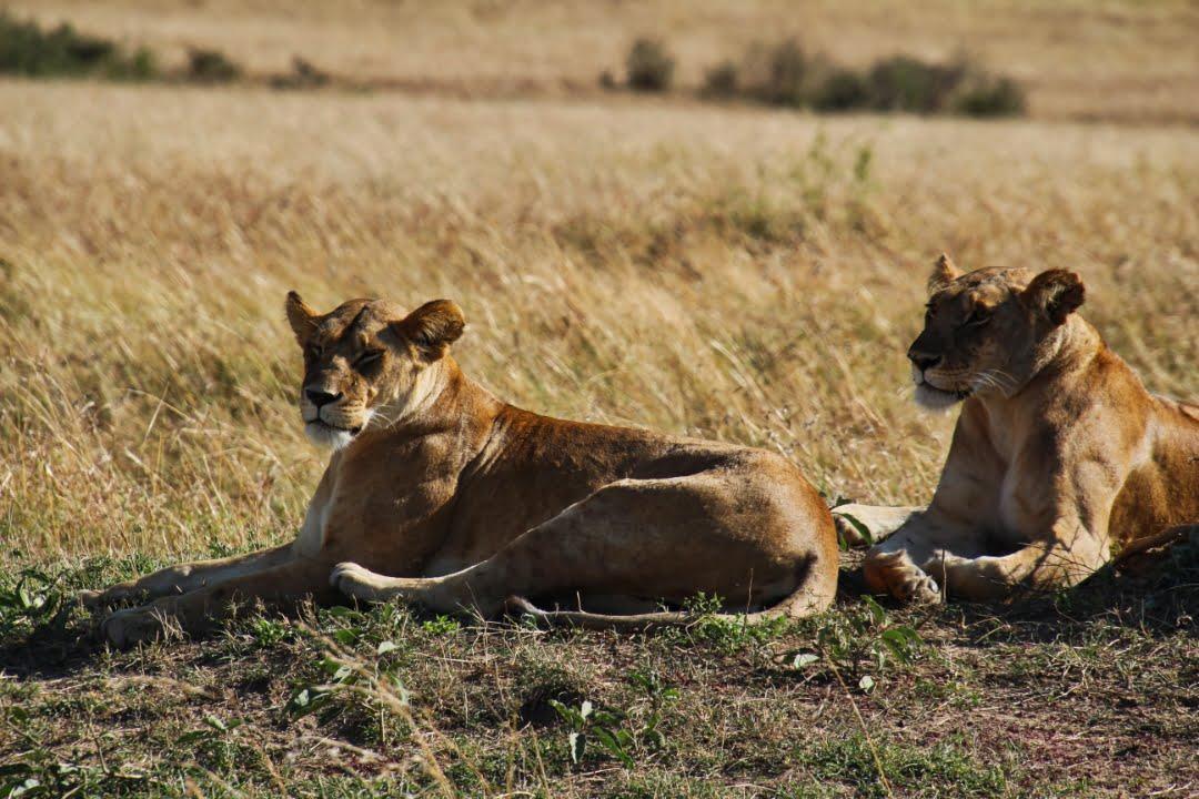 safari-in-kenia-masai-mara-game-reserve-16