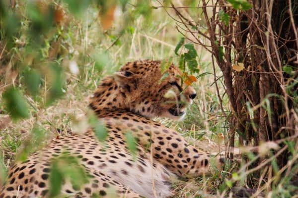safari-in-afrika_masai-mara-luipaard