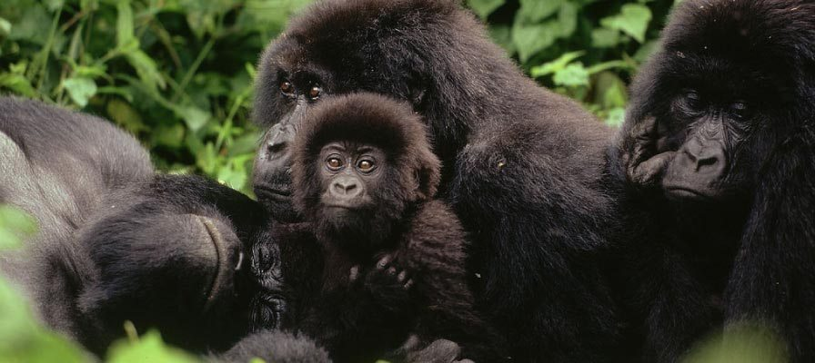 safari-in-rwanda-Virunga_04