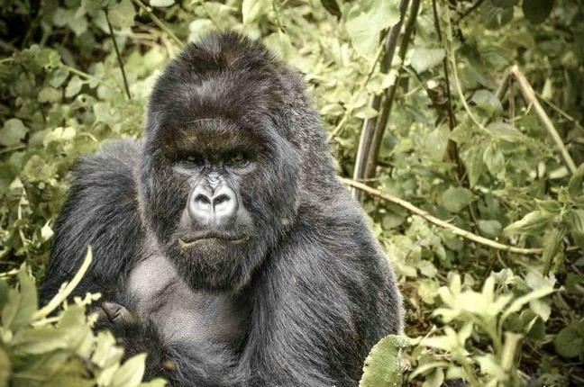 safari-in-rwanda-gorilla-trekking-volcanoes-national-park_01
