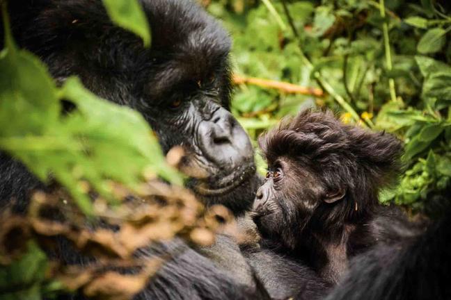 safari-in-rwanda-gorilla-trekking-volcanoes-national-park_02