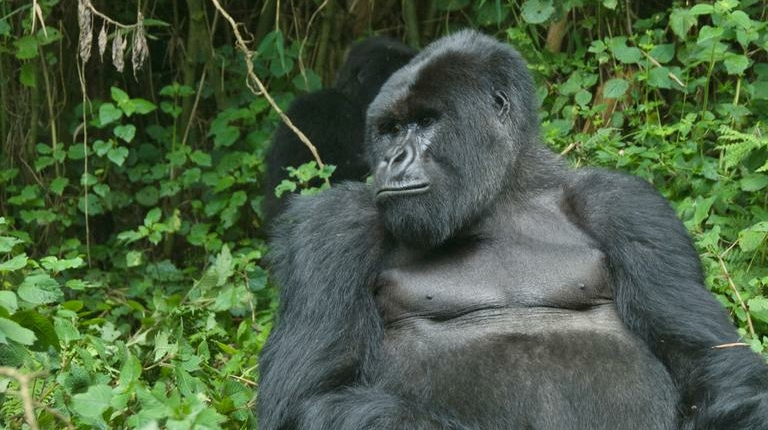 safari-in-rwanda-gorilla-trekking-volcanoes-national-park_04