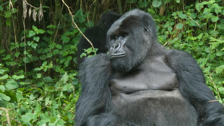 safari-in-rwanda-gorilla-trekking-volcanoes-national-park_04