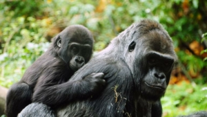 safari-in-rwanda-gorilla-trekking-volcanoes-national-park_05