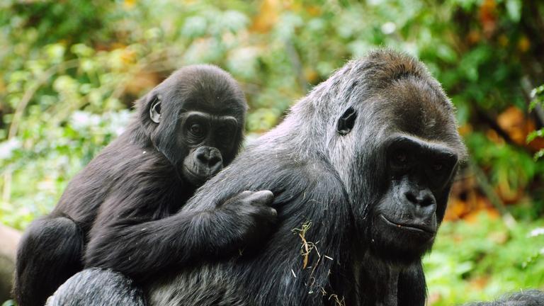 safari-in-rwanda-gorilla-trekking-volcanoes-national-park_05