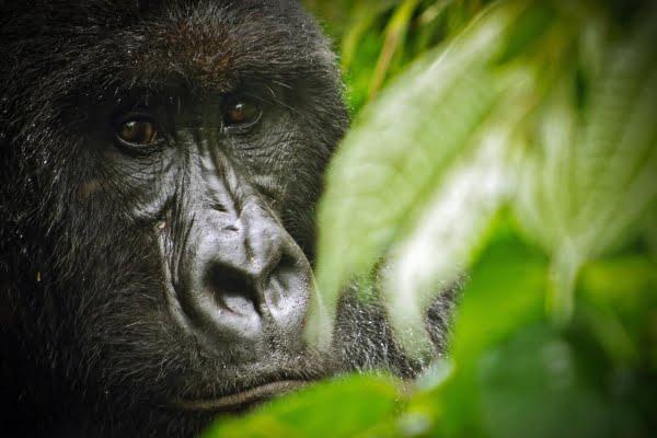"Rwanda & DR-Congo: 6 Dagen ""Mikeno Mist"" – Virunga Avontuur (Gorilla & Vulkaan Trekking)"
