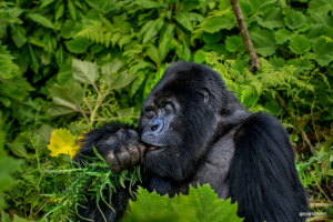 safari-in-rwanda-volcanoes-national-park_04