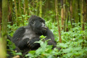 safari-in-rwanda-volcanoes-national-park_07