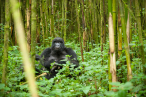 safari-in-rwanda-volcanoes-national-park_08