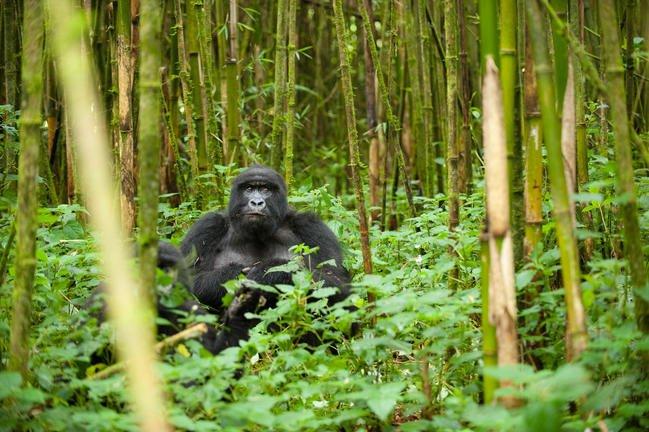 safari-in-rwanda-volcanoes-national-park_08