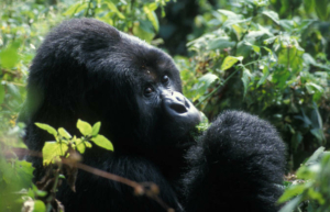 safari-in-rwanda-volcanoes-national-park_09