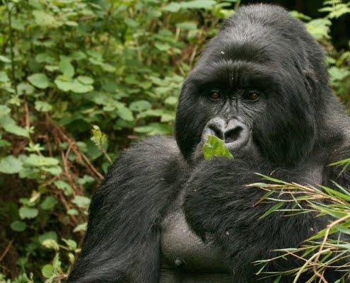 safari-in-rwanda-volcanoes-national-park_09