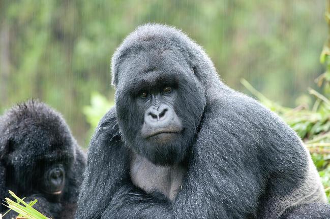 safari-in-rwanda-volcanoes-national-park_11