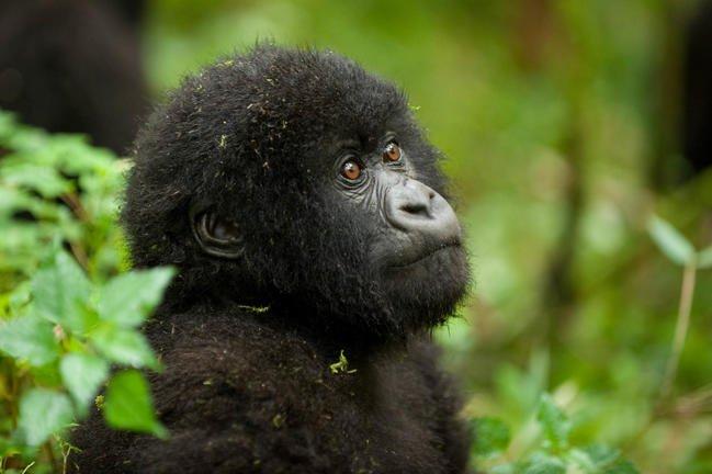safari-in-rwanda-volcanoes-national-park_12