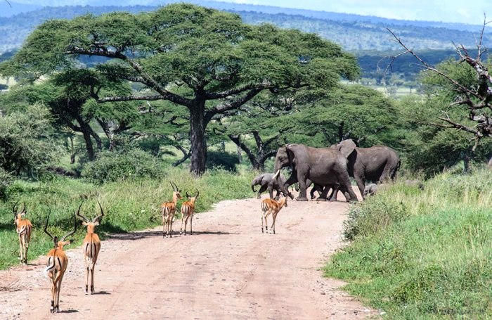 Elephant crossing, Serengeti National Park, Tanzania