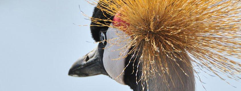 safari-in-kenia-kraanvogel