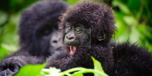 safari-in-uganda-bwindi-impenetrable-forest_01