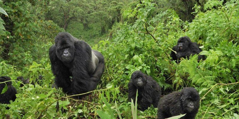 safari-in-uganda-bwindi-impenetrable-forest_02