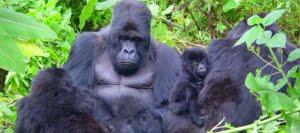 safari-in-uganda-bwindi-impenetrable-forest_05