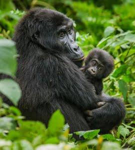 safari-in-uganda_bwindi-impenetrable-forest_02