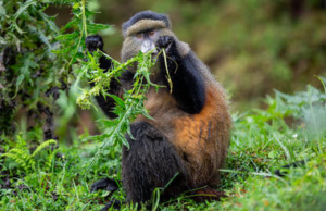 singita-kwitonda-lodge-golden-monkey-trek_01