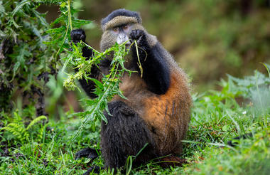 safari-in-rwanda_singita-kwitonda-lodge-golden-monkey-trek_01