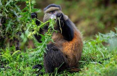 safari-in-rwanda_singita-kwitonda-lodge-golden-monkey-trek_01