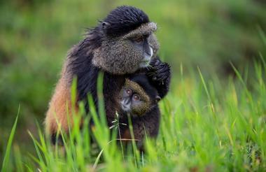 safari-in-rwanda_singita-kwitonda-lodge-golden-monkey-trek_02