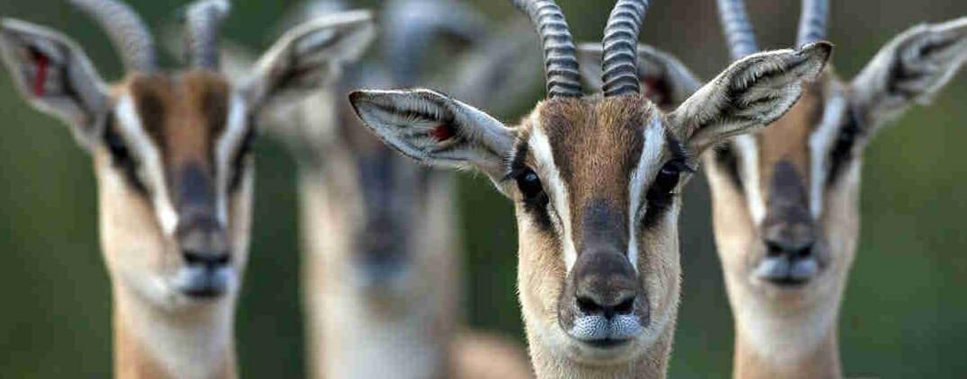 safari-in-kenia-thomson-gazelle
