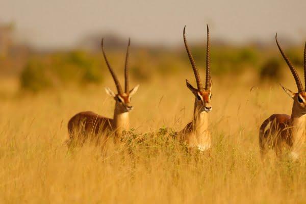 Kenia: 3 dagen Tsavo Impala Safari
