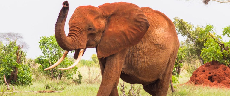 tsavo-red-elephant-768x727