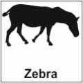 safari-in-kenia-zebra